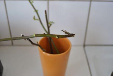 Как сделать что бы роза дала корни